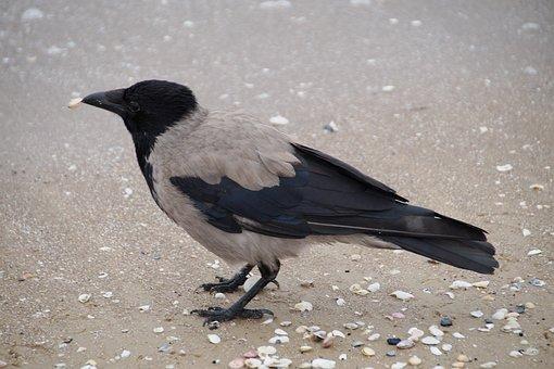 Crow, Grey Crow, Beach, Shells, Beak, Bird