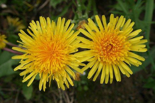 Dandelions, Flower, Yellow, Bloom