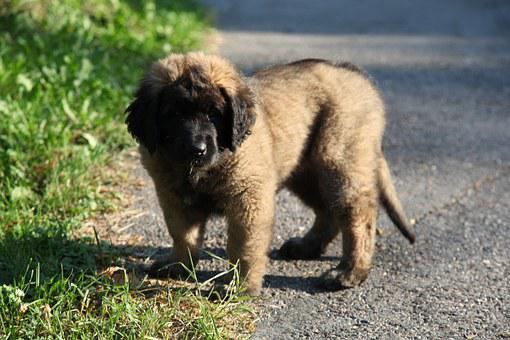 Dog, Puppy, Animal, Pet, Leonberger, Animals, Cute