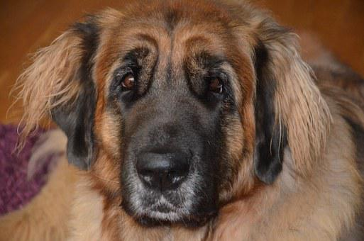 Dog, Leonberger, Beautiful, Race, Dog Breed