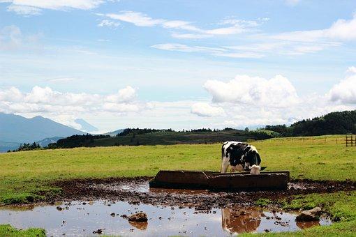 Cow, Ranch, Mountain, Hara, Drinking Fountain, Japan