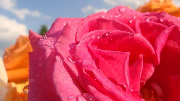 Rose, Flower, Petal, Floral, Love, Bouquet, Romantic