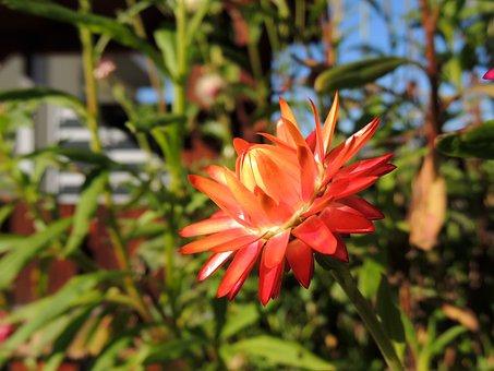 Flower, Blossom, Bloom, Red, Half Open, Nature, Macro