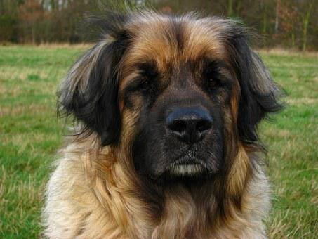 Dog, Leonberger, Animal, Canine, Pet, Big, Head