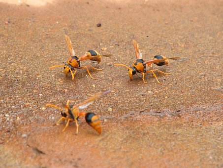 Hornets, Insects, Wasps, Insect, Wing, Wildlife, Bug
