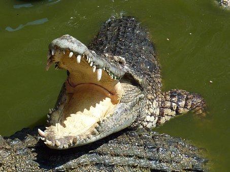 Crocodile, Thailand, Tooth, Feeding, Close, Scale, Tail