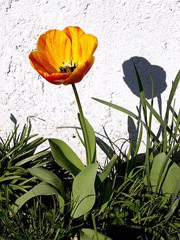 Tulip, White Wall, Shadow, Sunny Day, Spring, Yellow
