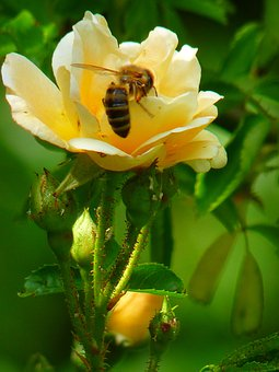 Rose, Flower, Blossom, Bloom, Bee, Sprinkle, Petal