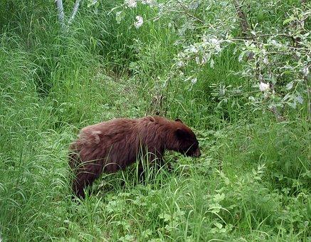 Alaska Bear, Bear, Black Bear, Brown Black Bear