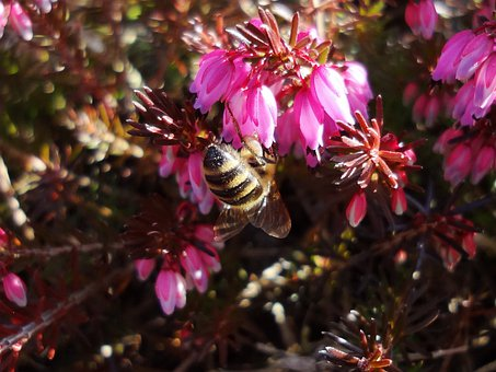 Bee, Blossom, Bloom, Spring, Pollination, Insect
