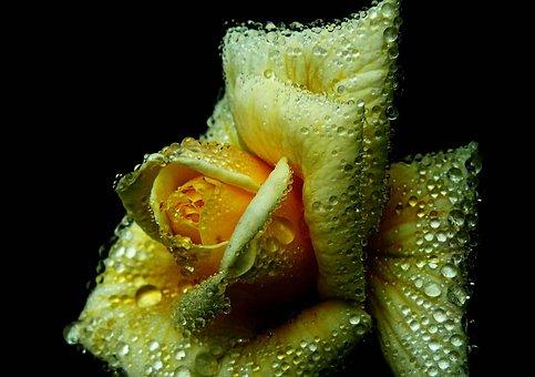 Rose, Roses, Flowers, Flower, Plant, Blossom, Bloom