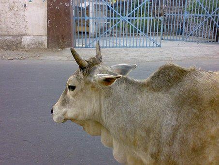 Cow, India, Sacred, Animal, Cattle, Holy