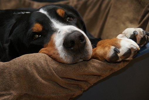Schweizer Sennenhund, Dog, Mountain Dog, Paws, Hunger