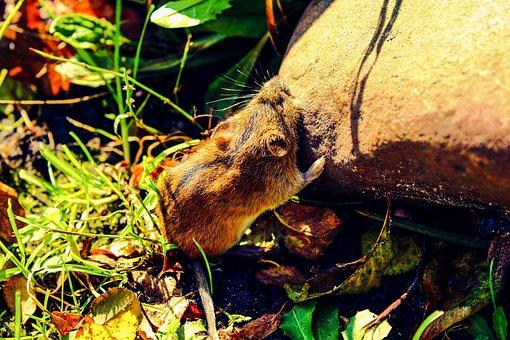 Mouse, Field Mouse, Mammal, Apodemus Agrarius, Garden