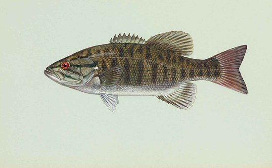 Fish, Smallmouth, Dolomieu, Micropterus, Bass, Fishes