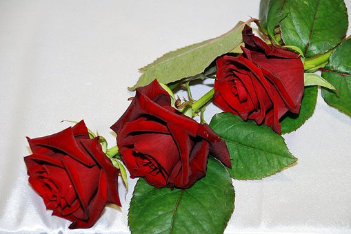 Red, Rose, Red Roses, Flowers, Flower, Flora