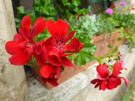 Flower, Red, Jardiniere, Nature