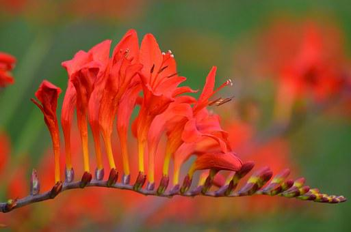 Flowers, Red Flowers, Nature, Red Flower, Red, Plant