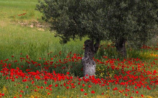Tree, Flowers, Poppies, Red, Nature, Spring, Trees