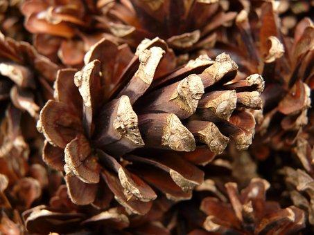 Pine Cones, Pine, Wood, Tree, Macro, Close, Cone Scales