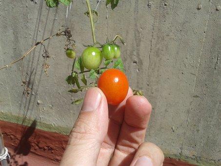 Tomato, Garden, Close-up, Garden Veggies, Vegetables