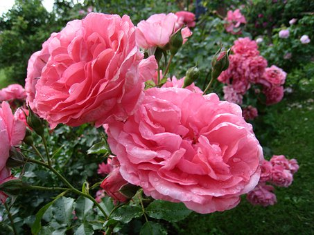 Roses, Double, Pink, Summer, Leaf, Green