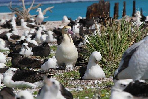 Ground, Nesting, Tailed, Short, Albatross, Birds