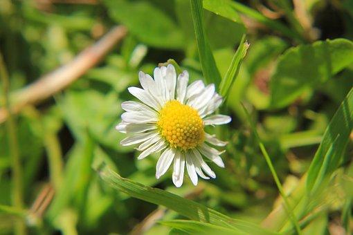 Daisy, Meadow, Flower, Nature, Summer, Blossom, Bloom