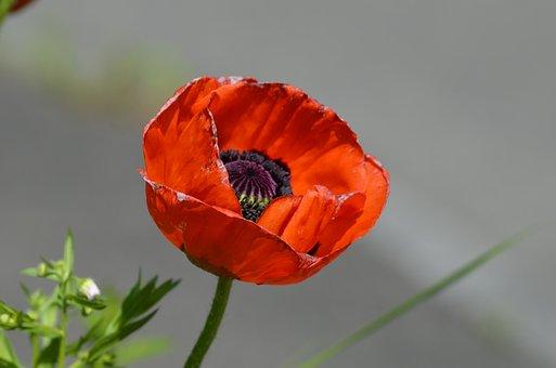 Poppy, Klaschtmohn, Nature