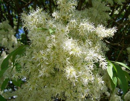 Flowering Ash, White Flower, Spring