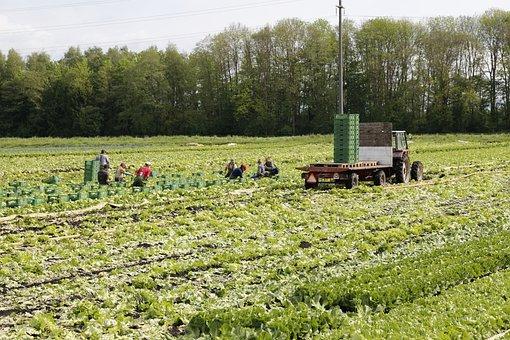 Vegetables, Field, Harvest, Agriculture, Salad, Food