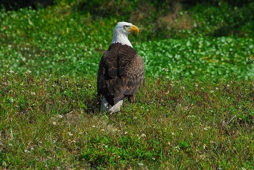 Bald Eagle, Bird, Symbol, Predator, Beautiful, Nature