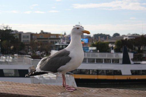 Sea Gull, Animal, Bird, San Francisco, Pier 39