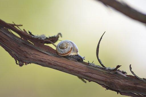 Snail, Branch, Shell, Macro