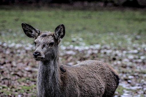 Doe, A Female Deer, Demonstration Reserve, Białowieża