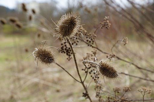Thistles, Plant, Dry, Withered, Macro, Nature