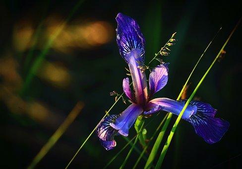 Iris Versicolor, Flower, Nature, Colors