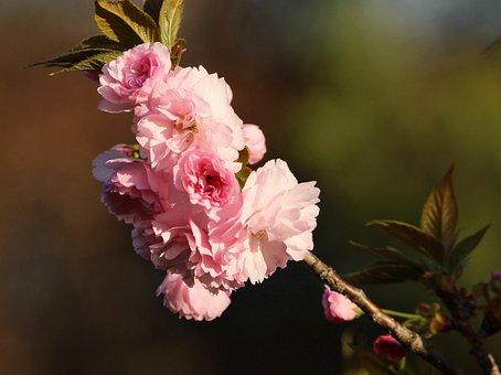 Kwanzan Cherry Blossoms, Flowering Tree, Pink Flowers