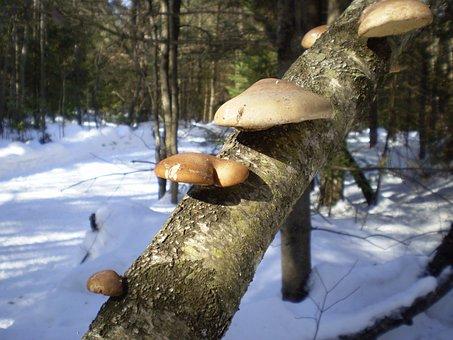 Snow, Branch, Trees, Woods, Forest, Mushroom, Fungus