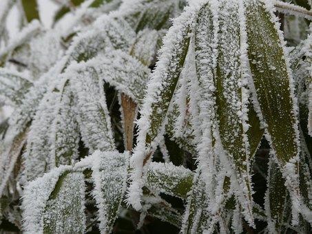 Bamboo, Frozen, Garden, Dew, Hoarfrost, Green, Winter