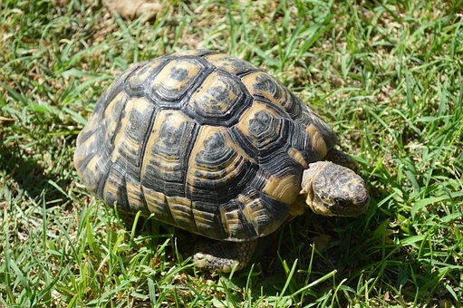 Turtle, Moorish Turtle, Greek Tortoise