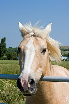 Horse, Pony, Palomino, Head, Face, Portrait, Close-up