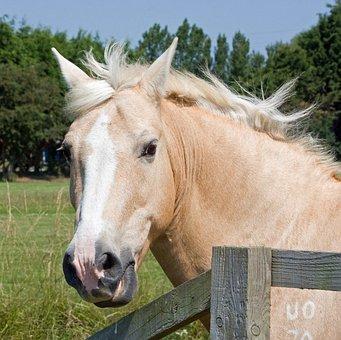 Horse, Pony, Palomino, Head, Portrait, Close-up