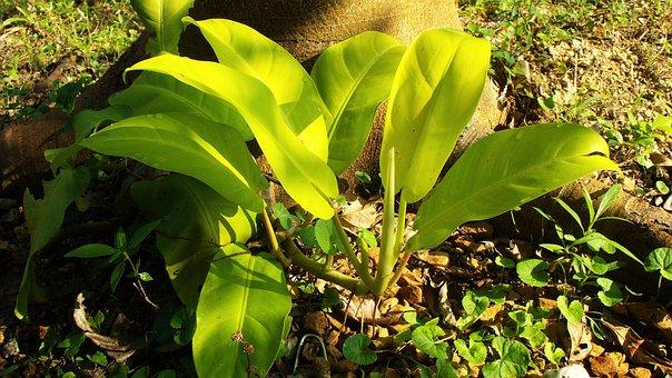 Leaves, Light Green, Kletterpfanze