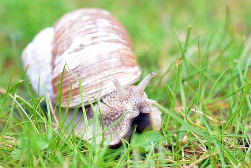 Snail, Mollusk, Shell, Nature, Animal, Schnecknehaus