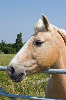 Palomino Horse, Palomino, Horse, Pony, Equine