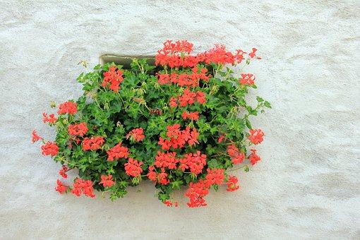 Flowers, Plant, Geranium, Window, Slope Geranien, Red