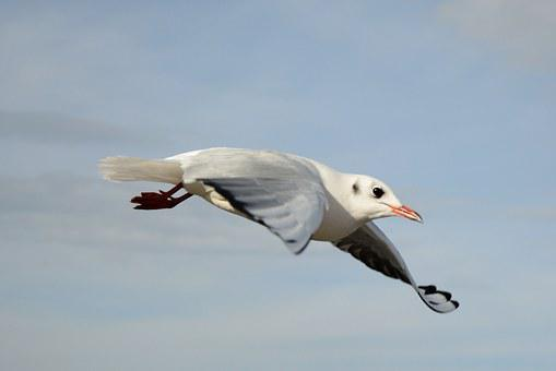 Seagull, Bird, Fly, Freedom, Sky, Lake, Feather, Wing