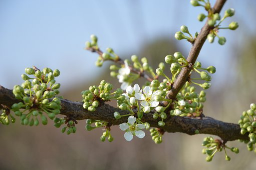 Bud, Spring, Blossom, Bloom, Green, White, Bloom, Peach