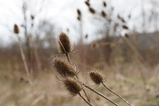 Thistles, Dry, Withered, Plant, Macro, Nature